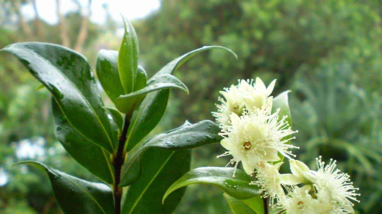 Lemon Myrtle - Backhousia citriodora #2