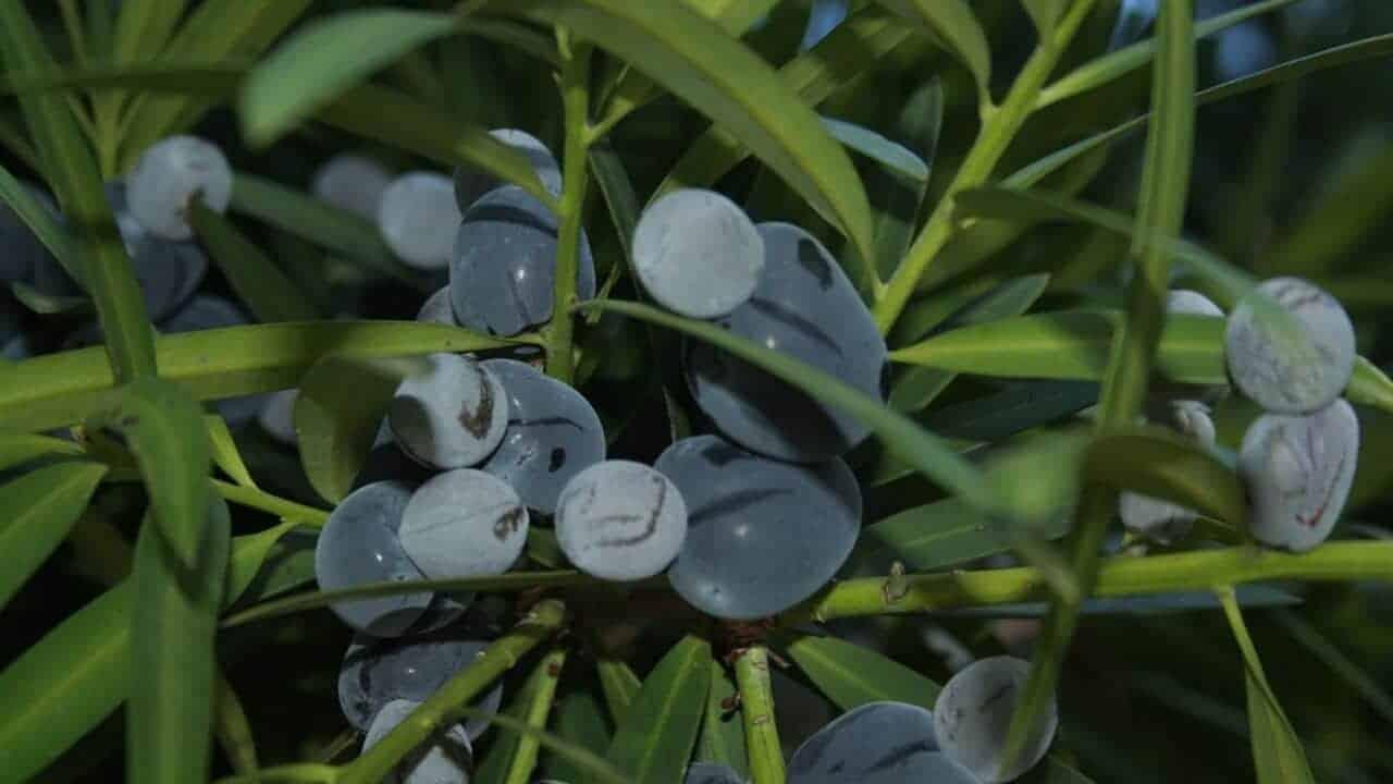 Illawarra Plum - Podocarpus elatus #1