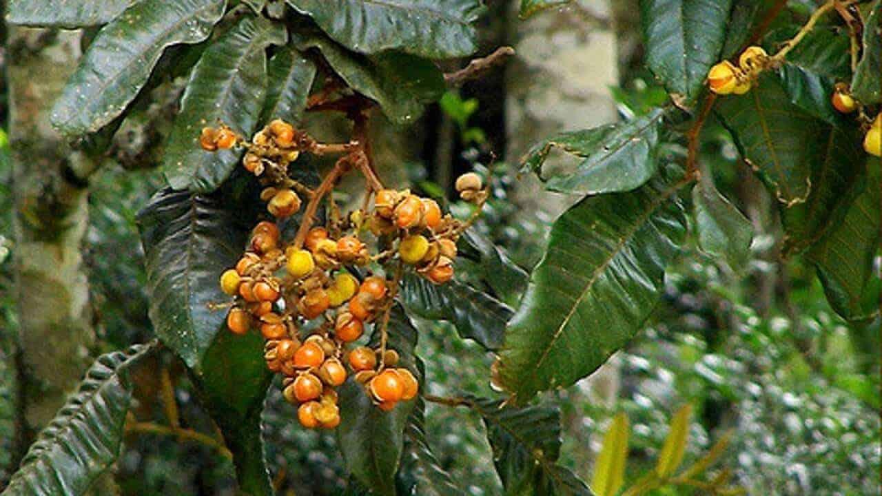 Large Leaf Tamarind - Diploglottis australis #1