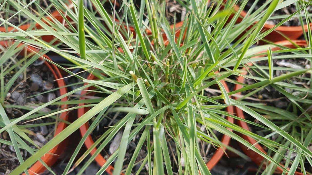 Native Lemongrass - Cymbopogon ambiguus #3