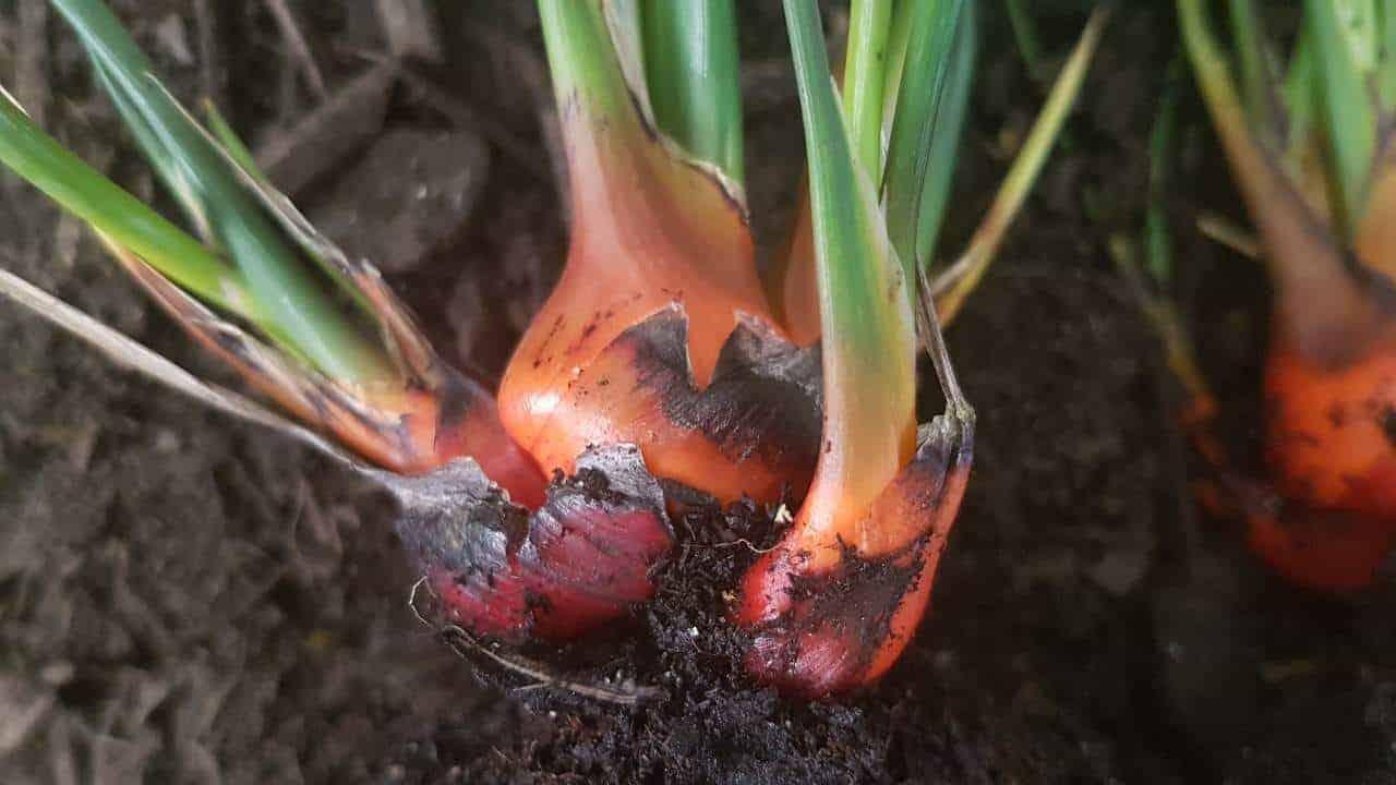 Bloodroot - Haemodorum spicatum #1