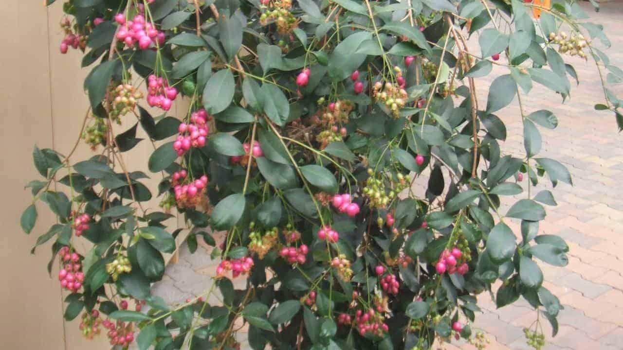 Blue Lilly Pilly - Syzygium oleosum #2