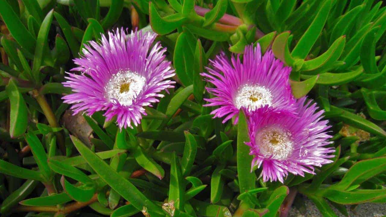 Karkalla - Carpobrotus virescens (Bain) #1