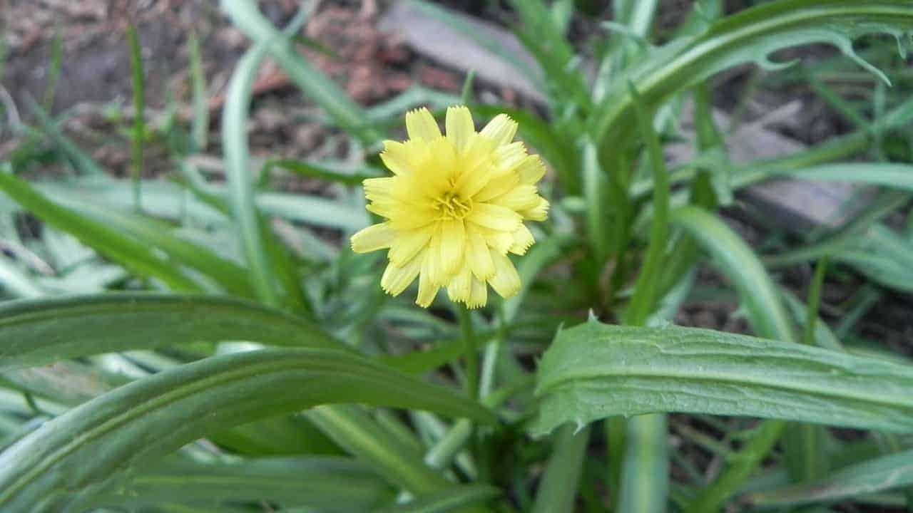 Murnong Yam Daisy - Microseris lanceolata #1