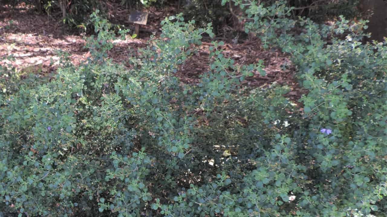Native Oregano - Prostanthera rotundifolia #2