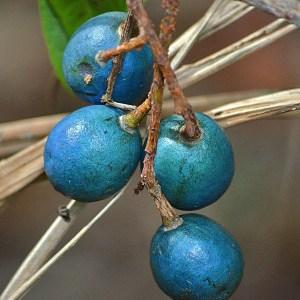 Blue Quandong - Elaeocarpus angustifolius 3x3