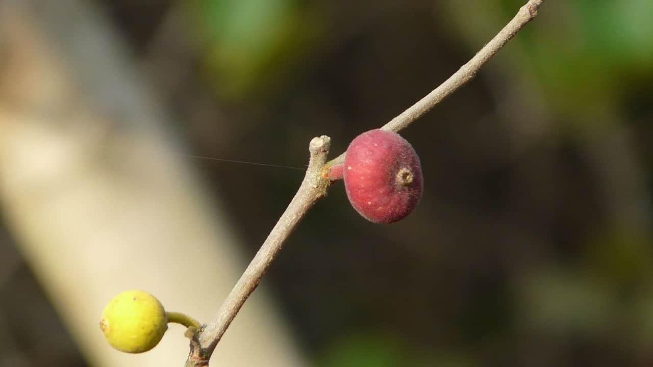 Sandpaper Fig - Ficus coronata #1