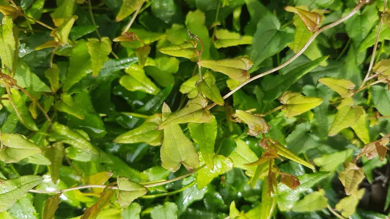 Warrine - Dioscorea hastifolia #1