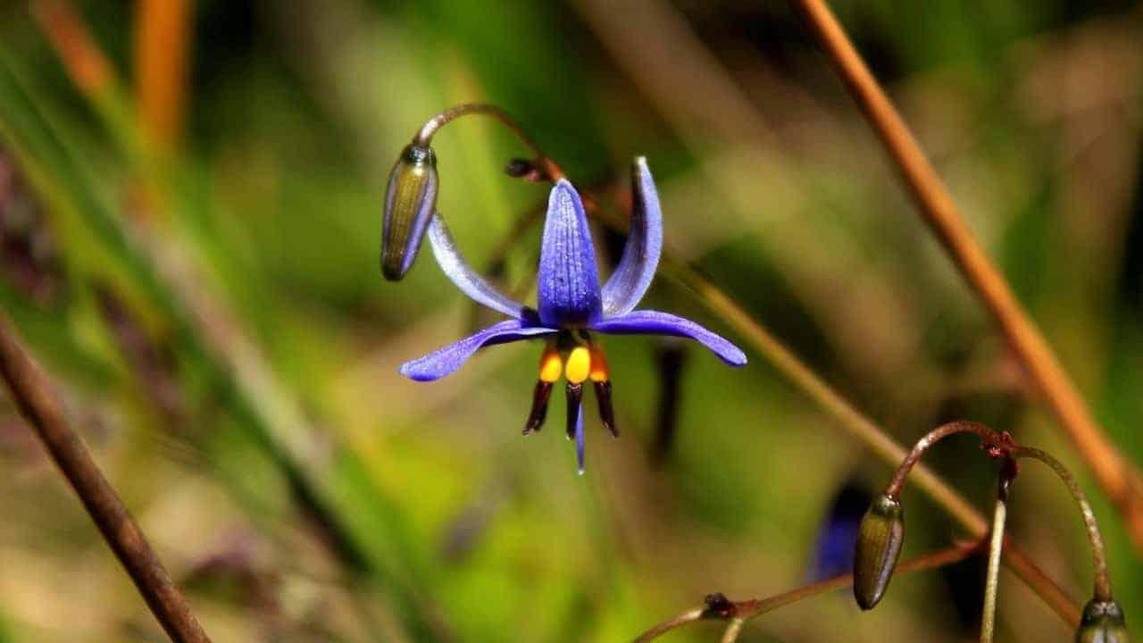 Blueberry Lily - Dianella revoluta #1