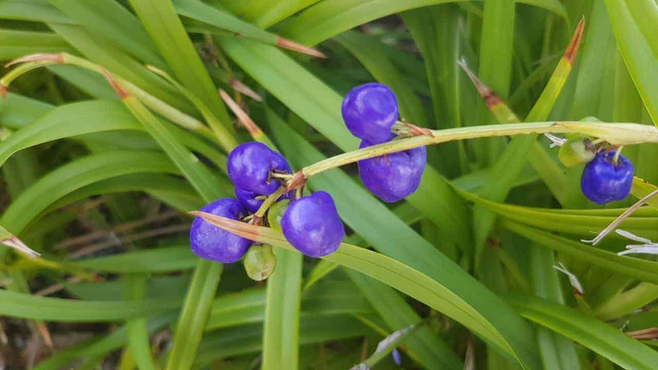 Blueberry Lily - Dianella revoluta #2